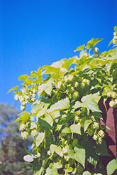 Hops (Humulus lupulus) at Barson's Greenshouse