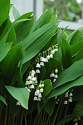 Lily-Of-The-Valley (Convallaria majalis) at Barson's Greenshouse