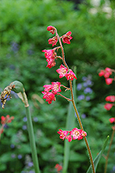 Splendens Coral Bells (Heuchera sanguinea 'Splendens') at Barson's Greenshouse