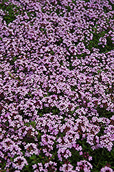 Red Creeping Thyme (Thymus praecox 'Coccineus') at Barson's Greenshouse