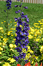 Black Knight Larkspur (Delphinium 'Black Knight') at Barson's Greenshouse
