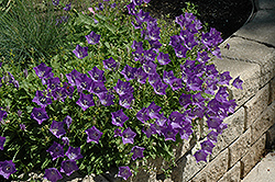 Blue Clips Bellflower (Campanula carpatica 'Blue Clips') at Barson's Greenshouse