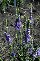 Blue Candles Speedwell (Veronica spicata 'Blue Candles') at Barson's Greenshouse