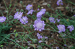 Butterfly Blue Pincushion Flower (Scabiosa 'Butterfly Blue') at Barson's Greenshouse