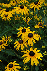 Indian Summer Coneflower (Rudbeckia hirta 'Indian Summer') at Barson's Greenshouse