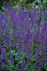 May Night Sage (Salvia x sylvestris 'May Night') at Barson's Greenshouse