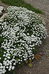 Little Gem Candytuft (Iberis sempervirens 'Little Gem') at Barson's Greenshouse