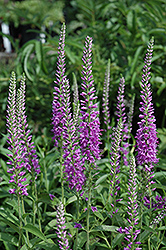 Eveline Speedwell (Veronica longifolia 'Eveline') at Barson's Greenshouse