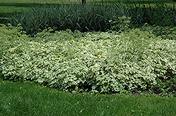 Variegated Bishop's Goutweed (Aegopodium podagraria 'Variegata') at Barson's Greenshouse
