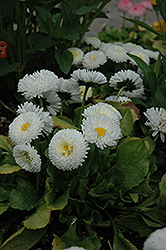 Bellisima White English Daisy (Bellis perennis 'Bellissima White') at Barson's Greenshouse