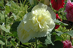 Chater's Double Yellow Hollyhock (Alcea rosea 'Chater's Double Yellow') at Barson's Greenshouse