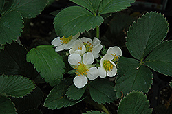 Honeoye Strawberry (Fragaria 'Honeoye') at Barson's Greenshouse