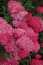Saucy Seduction Yarrow (Achillea millefolium 'Saucy Seduction') at Barson's Greenshouse