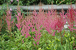 Visions in Pink Chinese Astilbe (Astilbe chinensis 'Visions in Pink') at Barson's Greenshouse
