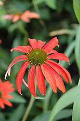 Tomato Soup Coneflower (Echinacea 'Tomato Soup') at Barson's Greenshouse