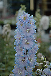 Magic Fountains Sky Blue Larkspur (Delphinium 'Magic Fountains Sky Blue') at Barson's Greenshouse