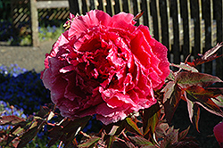 Hoki Tree Peony (Paeonia suffruticosa 'Hoki') at Barson's Greenshouse