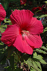 Sultry Kiss Hibiscus (Hibiscus 'Sultry Kiss') at Barson's Greenshouse