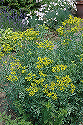 Common Rue (Ruta graveolens) at Barson's Greenshouse