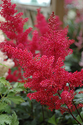 Montgomery Japanese Astilbe (Astilbe japonica 'Montgomery') at Barson's Greenshouse