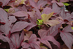 Sweet Caroline Red Sweet Potato Vine (Ipomoea batatas 'Sweet Caroline Red') at Barson's Greenshouse