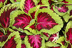Kong Rose Coleus (Solenostemon scutellarioides 'Kong Rose') at Barson's Greenshouse