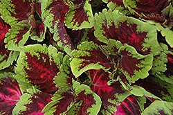 Kong Red Coleus (Solenostemon scutellarioides 'Kong Red') at Barson's Greenshouse
