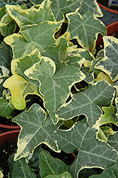 Yellow Ripple Ivy (Hedera helix 'Yellow Ripple') at Barson's Greenshouse