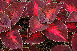 ColorBlaze® Kingswood Torch Coleus (Solenostemon scutellarioides 'Kingswood Torch') at Barson's Greenshouse