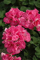 Melody Geranium (Pelargonium 'Melody') at Barson's Greenshouse
