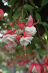 Swingtime Fuchsia (Fuchsia 'Swingtime') at Barson's Greenshouse