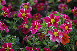 Superbells® Cherry Star Calibrachoa (Calibrachoa 'Superbells Cherry Star') at Barson's Greenshouse