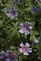 Brookside Cranesbill (Geranium 'Brookside') at Barson's Greenshouse