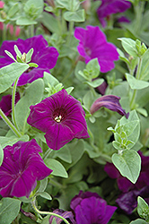 Supertunia® Royal Velvet® Petunia (Petunia 'Supertunia Royal Velvet') at Barson's Greenshouse