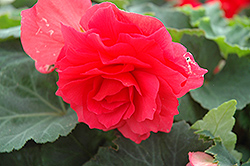 Nonstop® Bright Red Begonia (Begonia 'Nonstop Bright Red') at Barson's Greenshouse