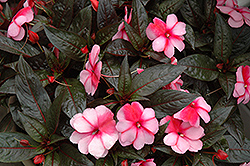 Super Sonic Sweet Cherry New Guinea Impatiens (Impatiens hawkeri 'Super Sonic Sweet Cherry') at Barson's Greenshouse