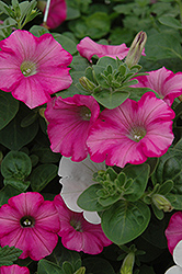 Supertunia® Raspberry Blast Petunia (Petunia 'Supertunia Raspberry Blast') at Barson's Greenshouse
