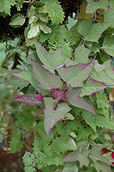 Tricolor Sweet Potato Vine (Ipomoea batatas 'Tricolor') at Barson's Greenshouse
