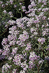 Blushing Princess Sweet Alyssum (Lobularia 'Blushing Princess') at Barson's Greenshouse