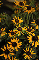 Little Goldstar Coneflower (Rudbeckia fulgida 'Little Goldstar') at Barson's Greenshouse