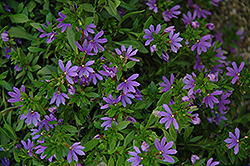 Bombay Dark Blue Fan Flower (Scaevola aemula 'Bombay Dark Blue') at Barson's Greenshouse