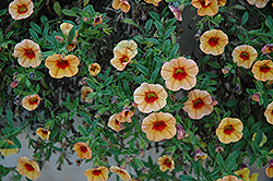 MiniFamous® iGeneration Apricot Red Eye Calibrachoa (Calibrachoa 'MiniFamous iGeneration Apricot Red Eye') at Barson's Greenshouse