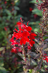 Queen Victoria Lobelia (Lobelia 'Queen Victoria') at Barson's Greenshouse