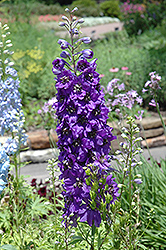 Magic Fountains Purple Larkspur (Delphinium 'Magic Fountains Purple') at Barson's Greenshouse