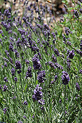 Ellagance Purple Lavender (Lavandula angustifolia 'Ellagance Purple') at Barson's Greenshouse