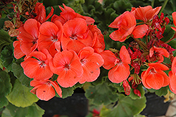 Rocky Mountain Salmon Geranium (Pelargonium 'Rocky Mountain Salmon') at Barson's Greenshouse