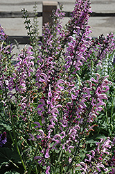 Sweet Sixteen Meadow Sage (Salvia nemorosa 'Sweet Sixteen') at Barson's Greenshouse