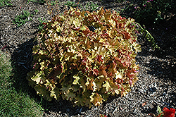 Caramel Coral Bells (Heuchera 'Caramel') at Barson's Greenshouse