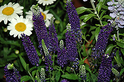 Vernique® Dark Blue Speedwell (Veronica longifolia 'Vernique Dark Blue') at Barson's Greenshouse