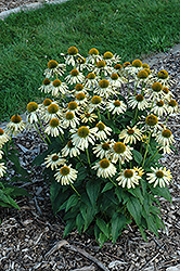 Sombrero® Sandy Yellow Coneflower (Echinacea 'Balsomselo') at Barson's Greenshouse